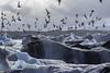 Aeronauts (courtney_meier) Tags: arctictern glacier iceland landscape nationalpark sternaparadisaea bird clouds flight ice tern wildlife gull jökulsárlón vatnajökul