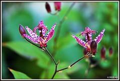 Fines et élégantes ! (Les photos de LN) Tags: lys couleurs mauve blanc mouchetées automne