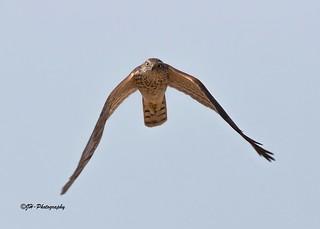 Eurasian Sparrow Hawk