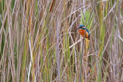 Alcedo atthis (AlexandreRoux01) Tags: common kingfisher alcedo atthis martinpêcheur deurope