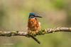 Kingfisher (Alcedo atthis) - On a windy day 750_0813.jpg (Mobile Lynn) Tags: birds kingfisher nature wild aves bird chordata coraciiformes fauna wildlife otterbourne england unitedkingdom gb coth specanimal coth5 ngc sunrays5 npc