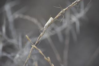 Polilla en hierba seca
