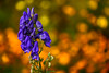 Monks Hood (John G Briggs) Tags: flower garden autumn monkshood marigolds bokeh