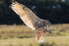 Eagle Owl Profile_T3W2057 (Alfred J. Lockwood Photography) Tags: alfredjlockwood nature raptor bird eagleowl flight profile backlight crc canadianraptorconservancy canada ontario morning autumn landing
