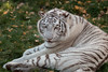 White Bengal tiger (Perry Verstappen) Tags: tijger tiger whitetiger
