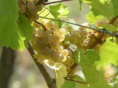 süße Früchte-sweet fruit (Anke knipst) Tags: trauben weintrauben grapes sonne sunshine