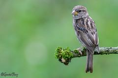 Sparrow (geraintparry) Tags: south wales southwales nature geraint parry geraintparry wildlife close closeup sigma sigma150600 150600 150600mm d500 nikond500 bird birds sparrow sparrows perch perched