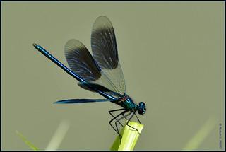 N° 813 / Calopterix splendens ( Focus Distance - 2.0 m