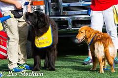 20170930_16420801-Edit.jpg (Les_Stockton) Tags: goldenhurricane tulsagoldenhurricane canine dog football navy pet tulsa oklahoma unitedstates us