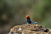 Red-headed rock agama (supersky77) Tags: agama agamaagama lakenakuru kenya africa reptile lizard
