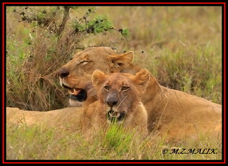 YOUNG SUB ADULT MALE LION CUB WITH FEMALE LIONESS (Panthera leo)......NAIROBI NAT.PARK......OCT 2013