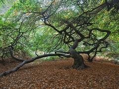 Im Hexenwald (nordelch61) Tags: ostsee rügen semper hexenwald buchen süntelbuchen äste zweige blätter knorrig urig alt forest witch wood wooden tree trees waldpark wald baum
