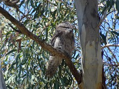 Tawny Frogmouth - female (RJNumbat) Tags: tawny frogmouth