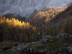 Žareči macesni / Glowing larches (Damijan P.) Tags: hribi gore hiking mountains slovenija slovenia alpe julijskealpe alps julianalps krma velikipršivec jesen autumn prosenak