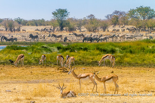 Springbok and Burchell's Zebras at the Rietfontein Waterhole, Etosha National Park, Namibia