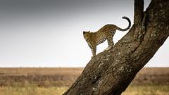 The Guru of the Hunt (Beppe Rijs) Tags: africa afrika baum leopard serengeti tansania tanzania tree hunt guru territory prey