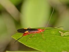 Ichneumon Wasp (robertoguerra10) Tags: ichneumon orange black wings white spots