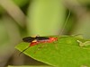 Ichneumon Wasp (robertoguerra10) Tags: ichneumon orange black wings white spots