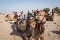 Rajasthan - Jaisalmer - Desert Safari with Camels