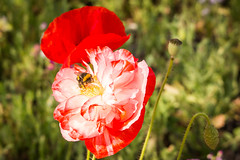 Snack time (marysaesteban) Tags: 2017 7dwf españa fauna madrid may papaveraceae parquefelipevi poppy realjardínbotánico spain valdebebas abejorro amapola curso flora mayo pollinator praderasornamentales primavera spring polinizador himenoptera canon canong1xmarkii bombus pictorialmeadows