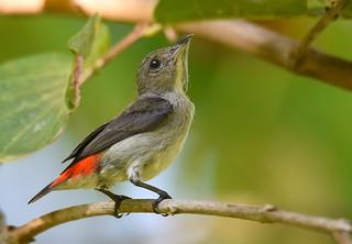 Scarlet-backed Flowerpecker - female
