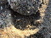Small & Speedy Crab - Carolina Beach (osubuckialum) Tags: 2017 carolinabeach northcarolina fall beach crab sand ghostcrab small fast phone pic