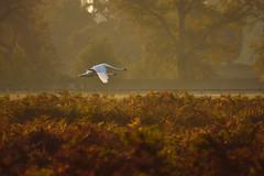 Swans (paulinuk99999 (really busy at present)) Tags: paulinuk99999 swans birds royal ophelia yellow light air dust smoke london wildlife surrey bushy park autumn october 2017 fall sal70400g