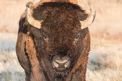 Massive Bison bull
