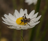 Grasshopper on everlasting flower (m&em2009) Tags: flower everlasting grasshopper white insect jumper bug flora paper daisy