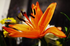 Lily tiger1 (souhers) Tags: flower lily tigerlily lilies