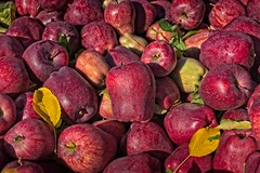 Recently Picked Apples in Fruit Valley 4464 A (jim.choate59) Tags: apple fruit autumn fall fruitvalley oregon fallseason harvest jchoate red texture d610 on1pics