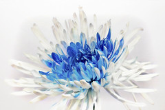 Cold Beauty (NYRBlue94) Tags: autumn nature floral soft detail beauty delicate macro flower blue white plant garden bloom cold