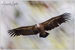Gyps fulvus (Hablizl, 1783) (Alessandro Laporta Photographer) Tags: alessandrolaporta laportaalessandro laporta fotocesco alessandrolaportaphotographer alessandrolaportaphotography 5d1987cee4005aa2 175487 vulturfulvus griffon eurasiangriffon supbělohlavý gänsegeier gåsegrib buitreleonado buitres hanhikorppikotka vautourfauve gæsagammur grifone shiroerihagewashi シロエリハゲワシ valegier gåsegribb sęppłowy grifocomum белоголовыйсип supbielohlavý gåsgam 西域兀赞