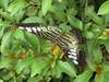 Blue Tiger Butterfly (Bruce Poole) Tags: cochin india kerala kochi കൊച്ചി brucepoole brucesspace 2017 bluetigerbutterfly bluetiger butterfly macrolepidopterancladerhopalocera lepidoptera nature floraandfauna gardens