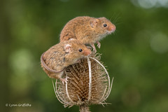 Whats going on over there? 500_0213.jpg (Mobile Lynn) Tags: nature rodents harvestmouse captive fauna mammal mammals rodent rodentia wildlife greensnorton england unitedkingdom gb coth specanimal coth5 ngc sunrays5 npc