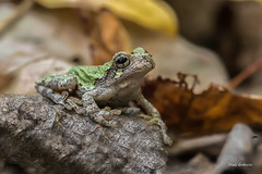 Gray Tree Frog (clayguthrie13) Tags: frog amphibian treefrog tree camo camouflauge green gray rock hiking wildlife photography nature rrpa1017