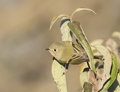Ruby-crowned Kinglet (Ruthie Kansas) Tags: