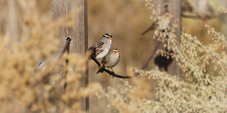 White-crowned Sparrows on a Happy Fence  Terranea Resort Palos Verdes Peninsula 213
