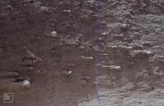 Helicella itala on eroding sand face. Barra dunes (Mary Gillham Archive Project) Tags: 2018 barra heathsnail helicellaitala island mollusca nf6906 scotland eoligarry unitedkingdom gb