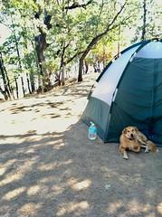 (disneyred) Tags: outdoor outside sun summer sunshine green color aussie australianshepherd goldie golden tent camping getaway