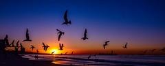Sunrise, the Bird Season--explore (beachpeepsrus) Tags: alamitosbay water california longbeachcalifornia longbeachgranprix light blackskimmers birds blue sky shore s