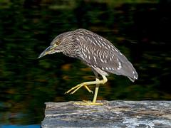 Black Crowned Night Heron (Bridgeport Mike) Tags: pa280070 green heron bird nature lake water california claw beak eye orange butorides virescens