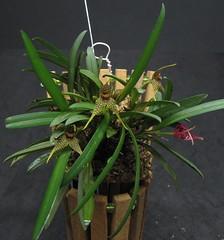 Dryadella sp OSC/SC (Micro-orquídeas Roberto Martins) Tags: dryadella sp oscsc pleurothallidenae epifitas micro microorquídeas mini orquídeas exposição orquidáceas galeria robertomicroorquideas robertoorquideas robertomicros permuta venda de coleção