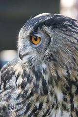 Look away (Photography by Martijn Aalbers) Tags: falconcrest birds vogels bird vogel birdofprey roofvogel eindhoven canoneos77d ef70200mmf4lisusm wwwgevoeligeplatennl owl uil