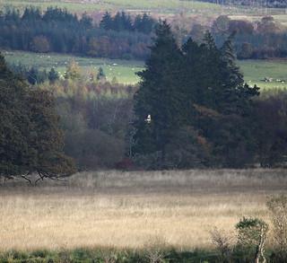 Hen harrier near Loch Lomond