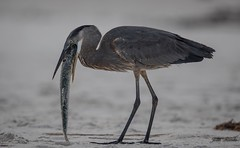 Nate's gift to a Blue heron (flintframer) Tags: great blue heron prey fish eating nature wildlife wow dattilo america gulf shores alabama canon 7d markii ef600mm