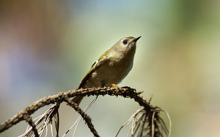 Bokeh selection of the week (2) : a Goldcrest in the colors of fall