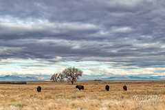 Bison roaming the Great Plains