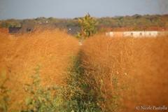 Asparagus field in autumn (Neferubty) Tags: köln cologne germany deutschland autumn herbst spargelfeld spargel asparagus field orange grün green unkraut weed feld