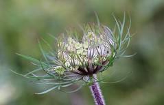 Green (LuckyMeyer) Tags: flower fleur green grün makro blume blüte knospe bud queenanneslace